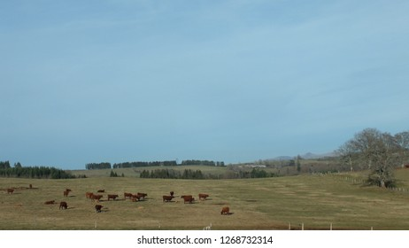 Landscape in Cantal with  Salers, breed of red cattle (France).