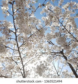 a landscape of cherry blossoms with shining and blue sky, spring gardening with nature,