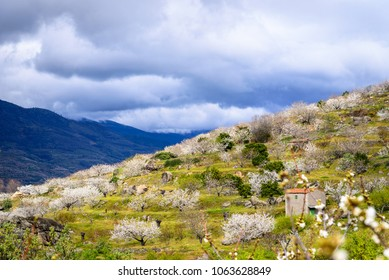 Landscape of cherry trees in bloom