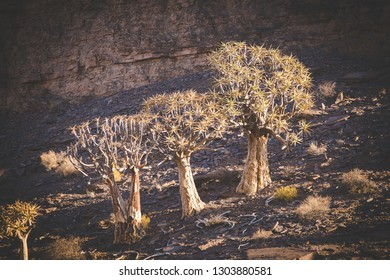 Landscape and close up images of quiver trees in the ancient quiver tree forest in Nieuwoudtville in the Northenr cape of south africa