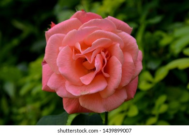 Landscape close up photograph of coral pink rose blooming
