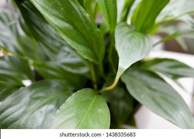 Landscape close up photograph of peace lily indoor plant against white background