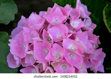 Landscape close up photograph of pink hydrangea plant blooming