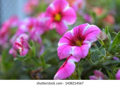 Landscape close up photograph of pink trailing flowers