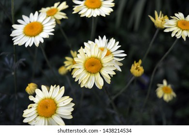 Landscape close up photograph of yellow and white daisy plants blooming