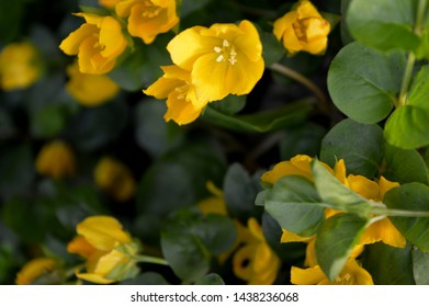 Landscape close up photography of creeping jenny plant flowering yellow flowers