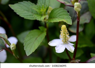 Landscape close up photography of mint and houttuynia cordata blooming