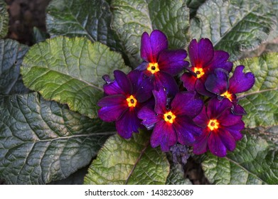 Landscape close up photography of purple and yellow primrose plant blooming