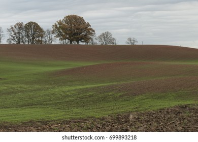 Landscape in cloudy autumn day with green wheat sprouts on agriculture field and background with oak trees