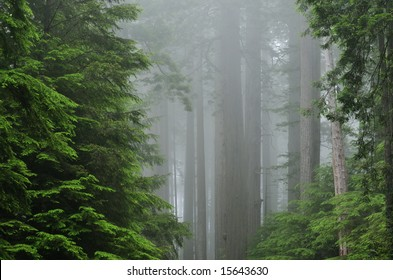Landscape of coastal redwood forest, Prairie Creek State Park, California, USA