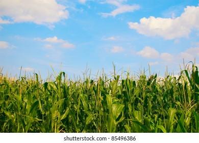 Landscape of corn field on the background beautiful blue sky