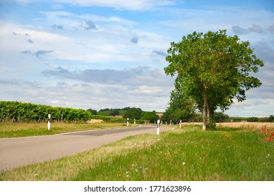 Landscape with a country road - tree, vineyard, grass on a sunny day