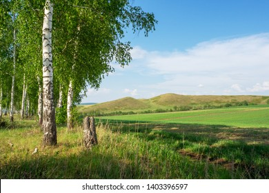 Landscape countryside. Birchwood, hills and dirt road along the field.