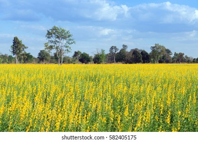 Landscape of Crotalaria, Cover crop or Ground cover field.Yellow flower and green leaves. Blue sky with cloud.
