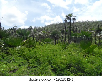 Landscape of dry forest with palms. Petticoat palm (Copernicia macroglossa) and Florida thatch palms (Thrinax radiata) in natural habitat in Cuba