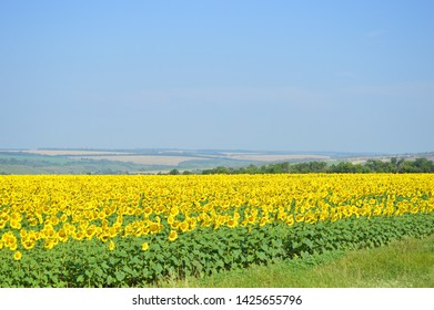 Landscape with a field full of sunflower. Beautiful cloudless sky.