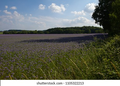 Landscape with a field of phacelia tanacetifolia surrounded by green trees