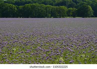 Landscape with a field of phacelia tanacetifolia and trees