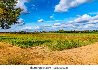Landscape with a field of sunflowers (Helianthus annuus) near Berlin with a blue sky and clouds.