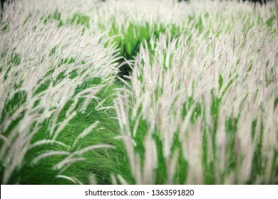 landscape field of white reeds grass