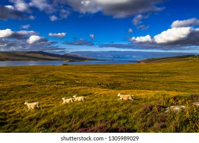 Landscape With Flock Of Sheep At The Coast Of Loch Eriboll Near Durness In Scotland