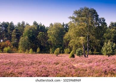 Landscape with flowering heather (Calluna vulgaris) nature reserve Lueneburg Heath, Lower Saxony, Germany, Europe,, Europe