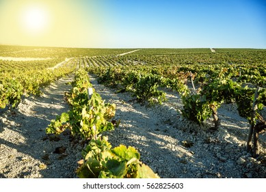 Landscape of flowering vineyard in sunny day