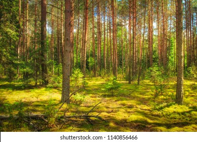 Landscape of the forest. Green summer forest in sunlight. Coniferous trees, moss on the ground. Beautiful view of the summer forest in a sunny day