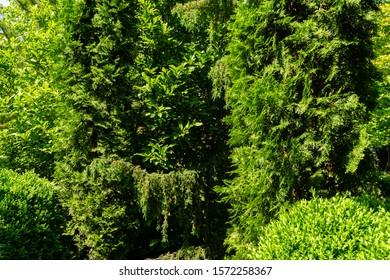 Landscape garden with evergreens against blue spring sky. Hortsman Juniper, Japanese Glauka pine, Pychia korean western arborvitae and boxwood as exampleuse evergreens in landscape design.