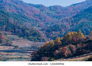 Landscape of ginseng growing in valley below mountainside covered with trees in autumn colors under clear blue sky.