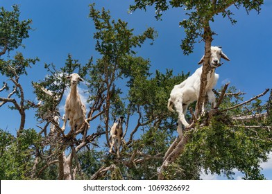 Landscape with goats in a big tree. Morocco