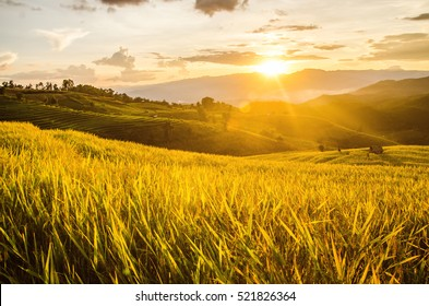 Landscape of gold rice fields. Soft focus of rice farm landscape with sunset.