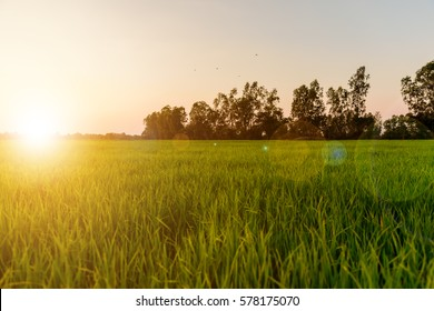 Landscape of golden light with green rice meadow , relaxing photo , sunsets with lens flare effect