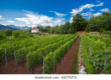 Landscape with grapevines in Virpazar in Montenegro