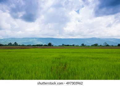 Landscape the green cornfield on the blue sky is background in Thailand