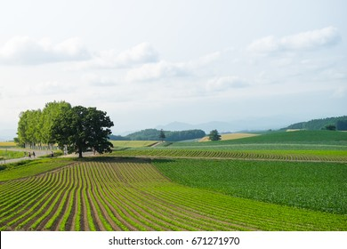 Landscape of green field with rows of plant growing in summer of japan. One tree is standing under the cloudy sky. This is the famous seven star tree.