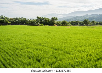 landscape of green paddy farm scenery at daytime