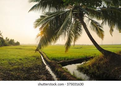 Landscape of green rice field in Alleppey, Kerala