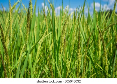 Landscape of green rice field with the blue sky
