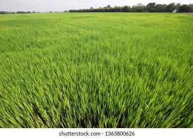 landscape of green rice plantation background.
