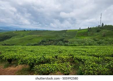 Landscape of Green Tea Hill in Da Lat, Vietnam