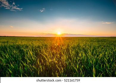 Landscape Of Green Wheat Field Under Scenic Summer Colorful Dramatic Sky In Sunset Dawn Sunrise. Skyline. Copyspace On Clear Sky.