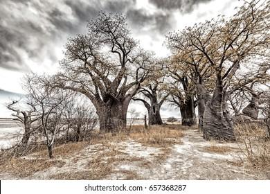 landscape with a group of Baobab trees called Baines Baobabs in dry Kalahari desert, Nxai Pan NationalPark, Botswana, Africa