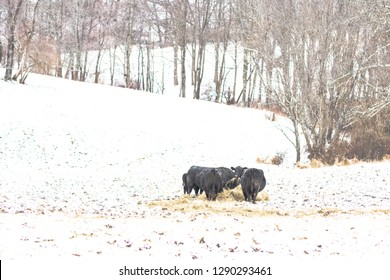 Landscape of a group of black Angus beef cows eating hay during a snow storm in Appalachia