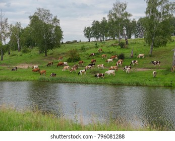 Landscape with a herd of cows in the on coast of the lake cinemagraph.