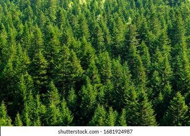 Landscape of high mountain trees of intense green color