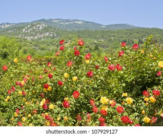 Landscape with hills and big shrub with red and yellow roses, recorded in Nikitskiy botanic garden in town Yalta in region Crimea in Ukraine.