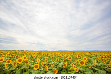 Landscape in Hokkaido, Rural landscape, Higashi, Hill of fairy tale, Meihachi, sunflower