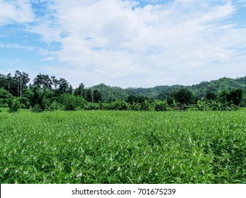 Landscape image of beautiful sesame field in a village of Northern Thailand under blue sky and white clouds.
