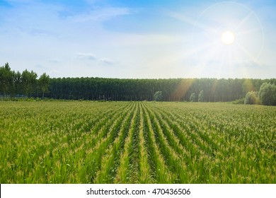 Landscape with the image of corn field
